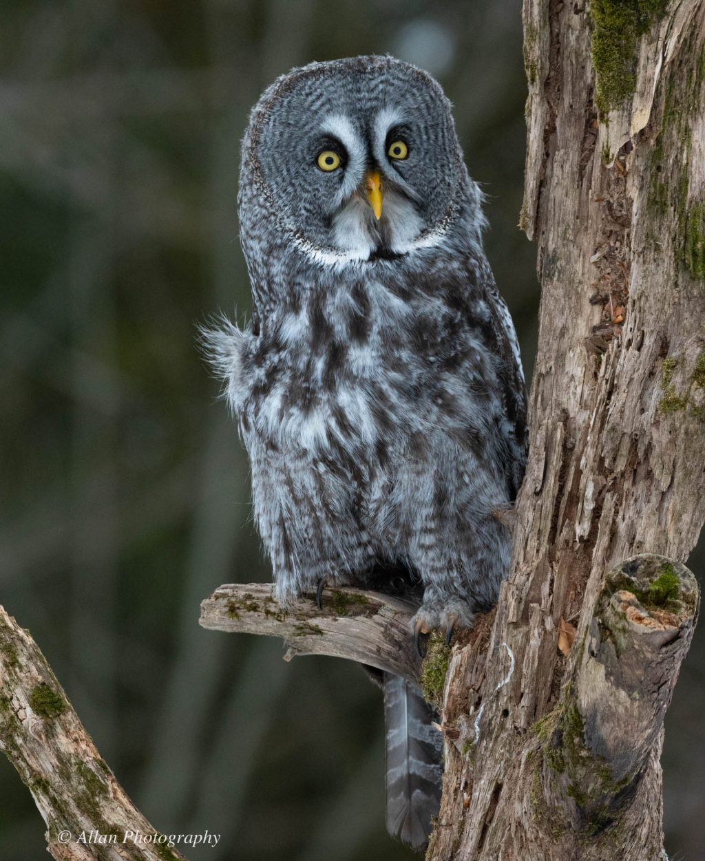 Great Gray Owls-16